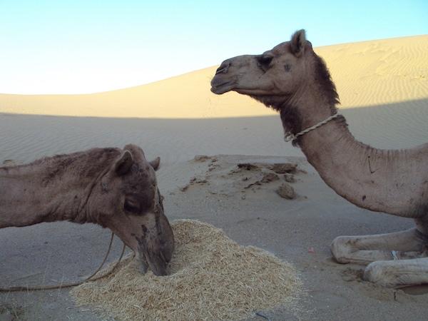 Kamelen safari Bikaner