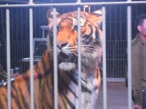 Night Safari tijger show