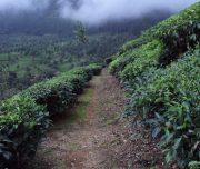 route zuid india - munnar wandeltocht theevelden