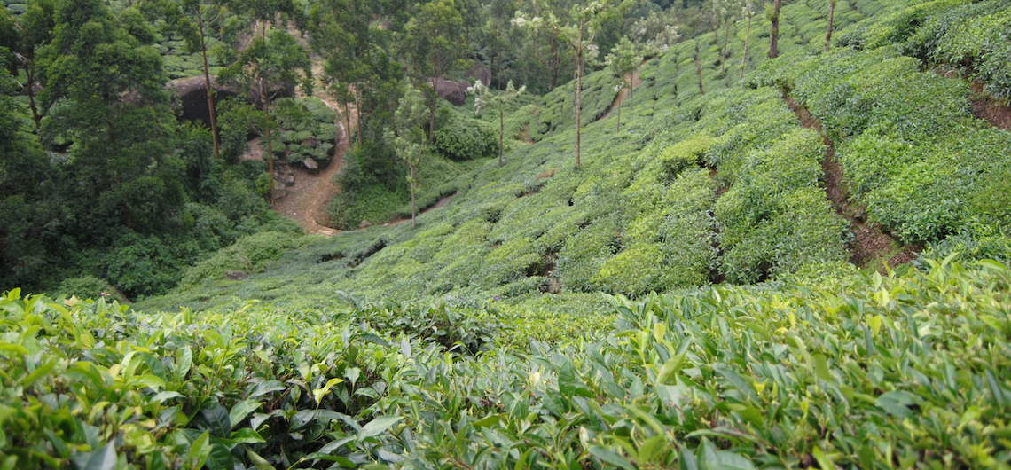 Munnar india Theeplantages