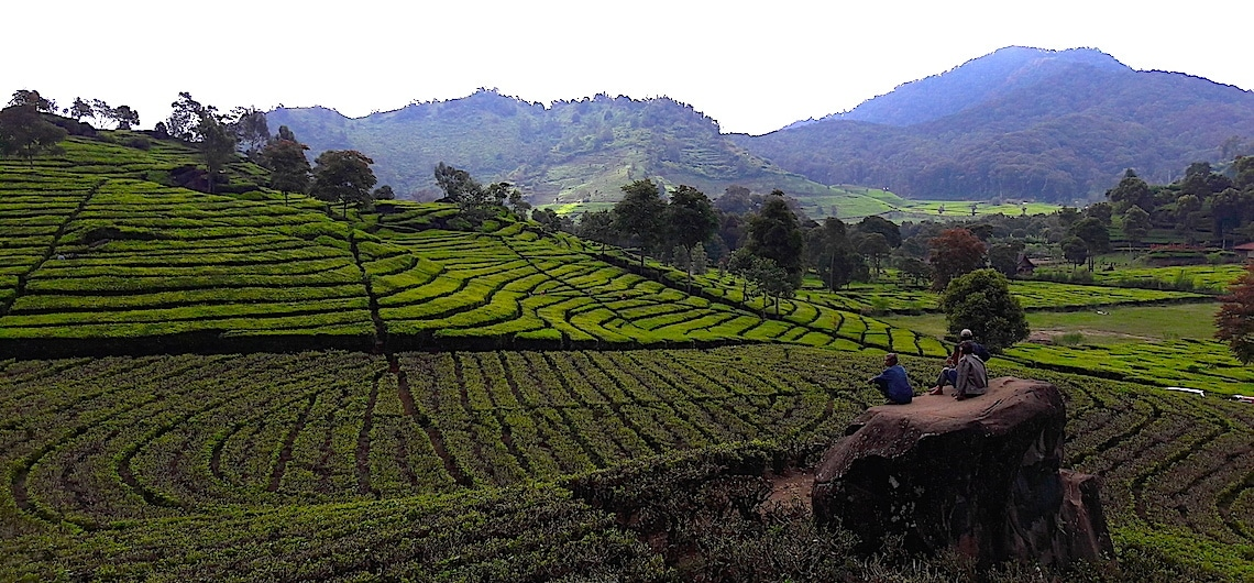 Theevelden Ciwidey bij Bandung