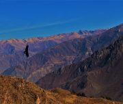 Condor bij Colca Canyon