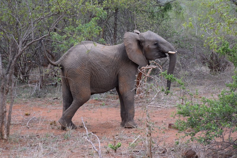 olifant krugerpark
