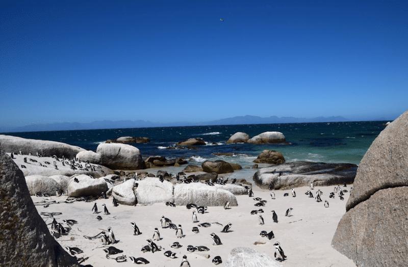 Boulder beach pinguins Kaapstad