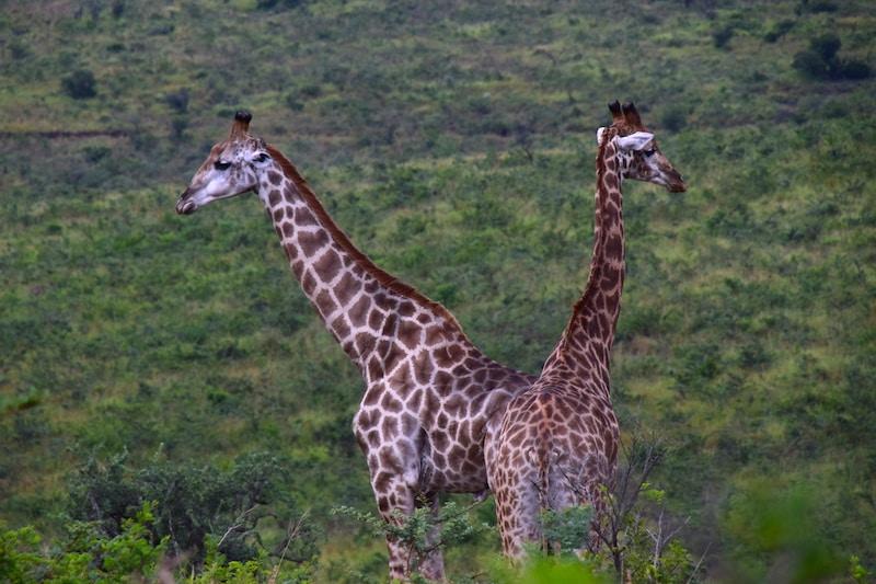 Giraffen Hluhluwe park