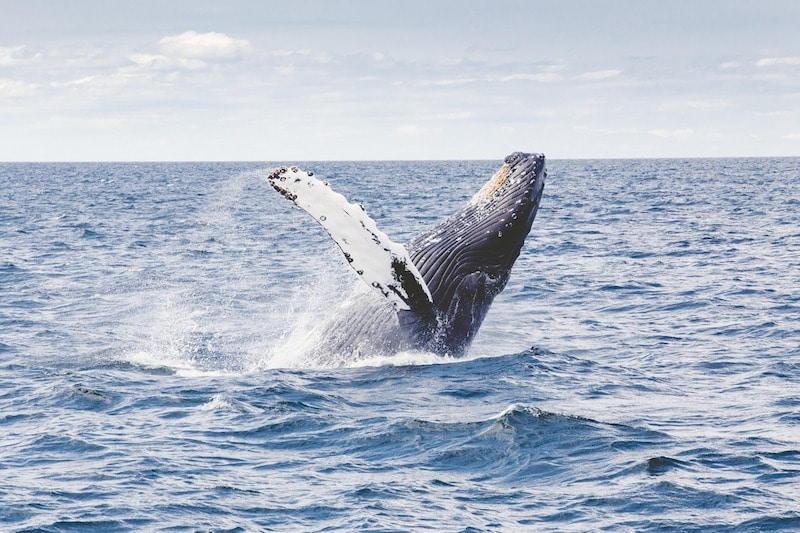 Walvissen spotten hermanus
