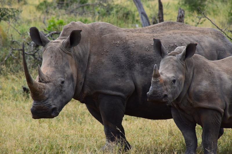 neushoorns hluhluwe park zuid afrika