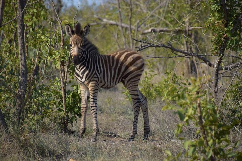 Krugerpark januari