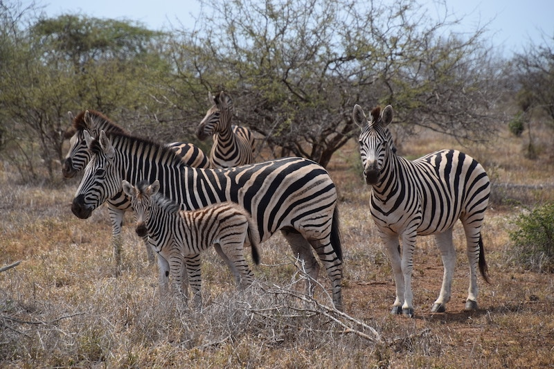 familie zebras