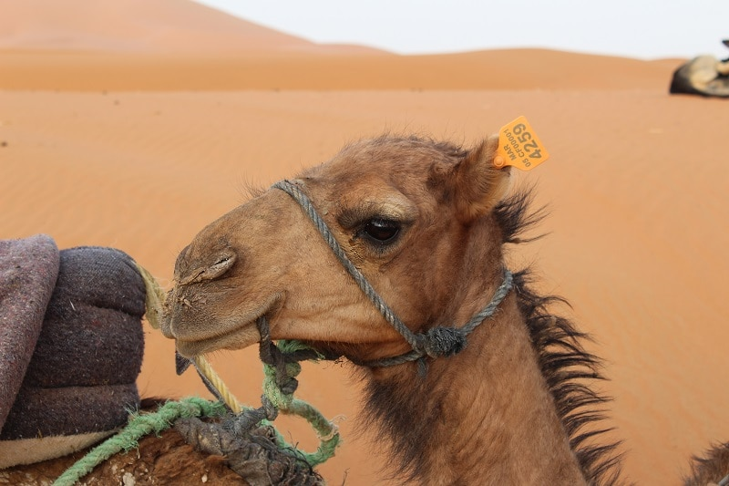 driedaagse woestijnsafari merzouga marokko kameel dromedaris