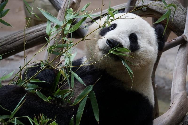 Singapore zoo reuzepanda Singapore