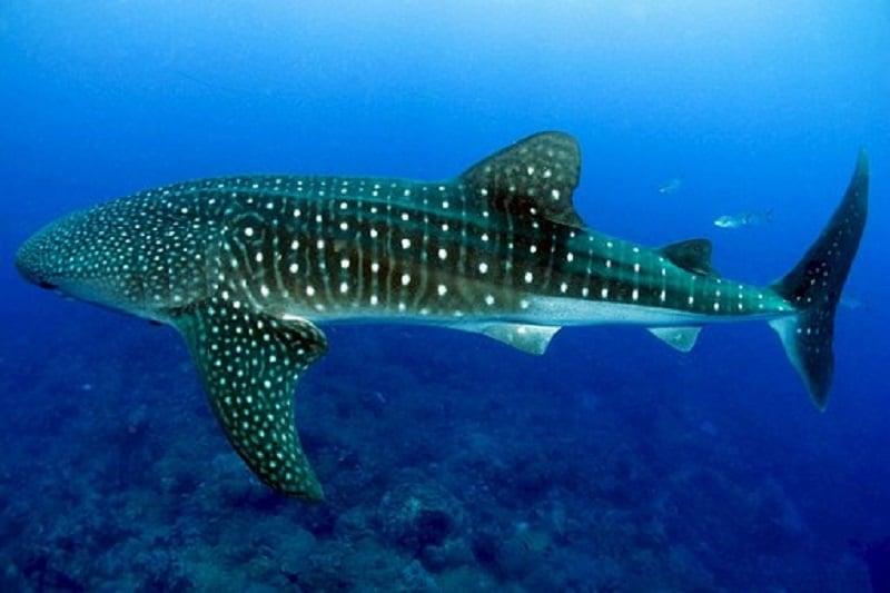 Snorkelen walvishaai malediven