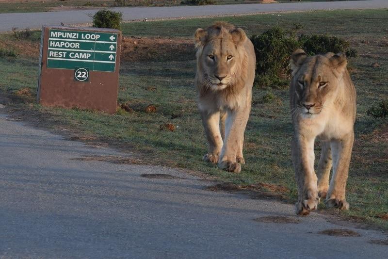 bezoeken Addo Elephant national park zuid afrika