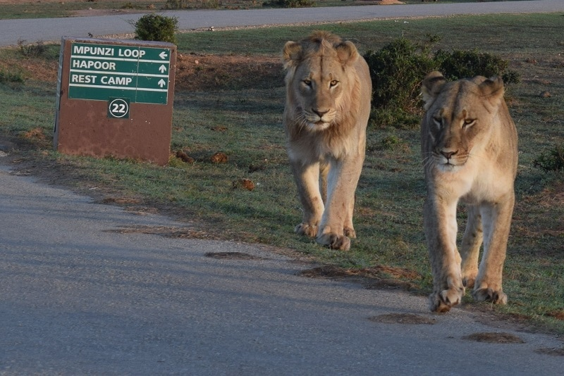 bezoek Addo Elephant national park zuid afrika