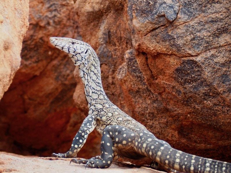 wildlife spotten Australië, reptiel