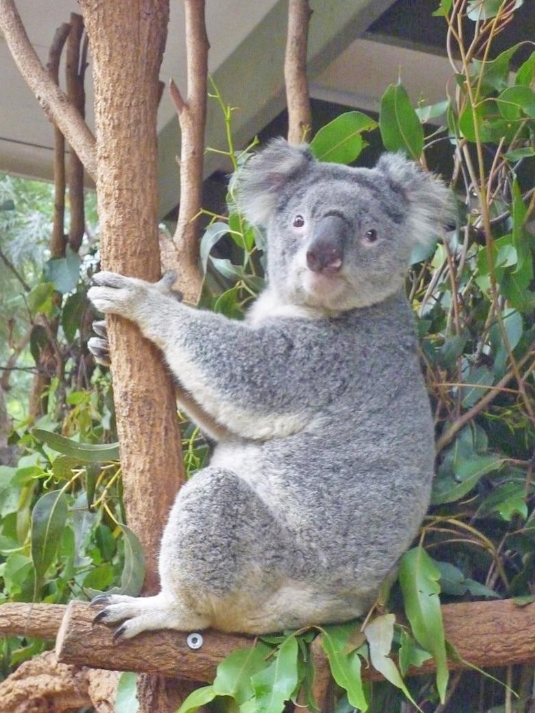 Brisbane Koala lone pine sanctuary koala