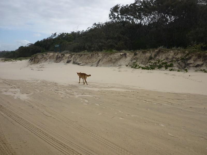 Dingo, Fraser Island Australië