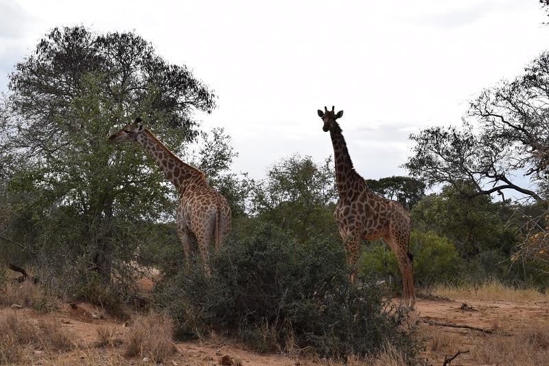 Krugerpark giraffes