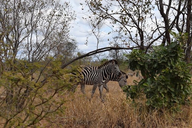Krugerpark zebra