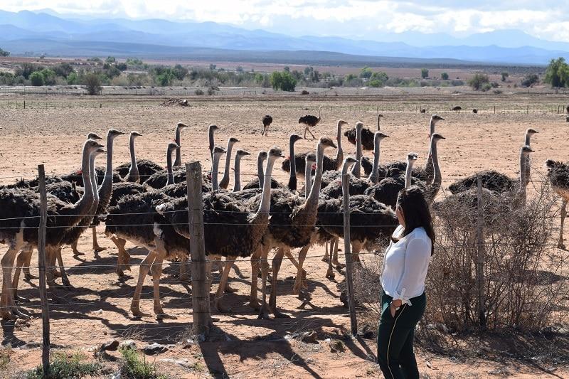 Route 62 struisvogels Zuid afrika