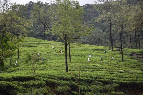 Theeplantages Nuwara Eliya