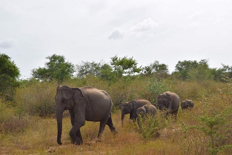 Udawalawe National Park olifanten Sri Lanka