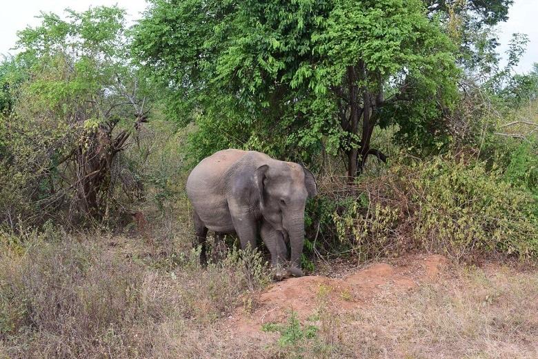 olifanten yala sri lanka