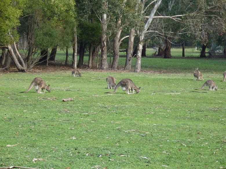Kangoeroes Grampians NP