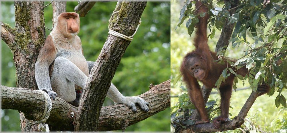 natuur borneo orang oetans neusapen