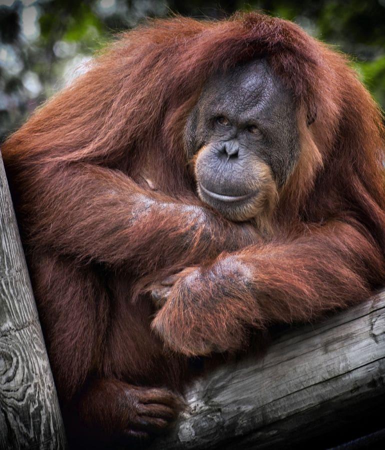 orang oetans kuching waar zien