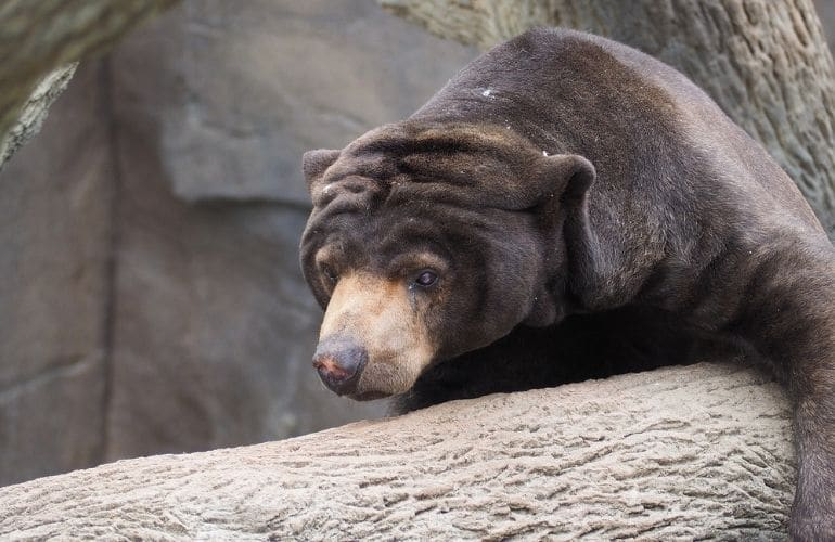 sun bears sepilok tips