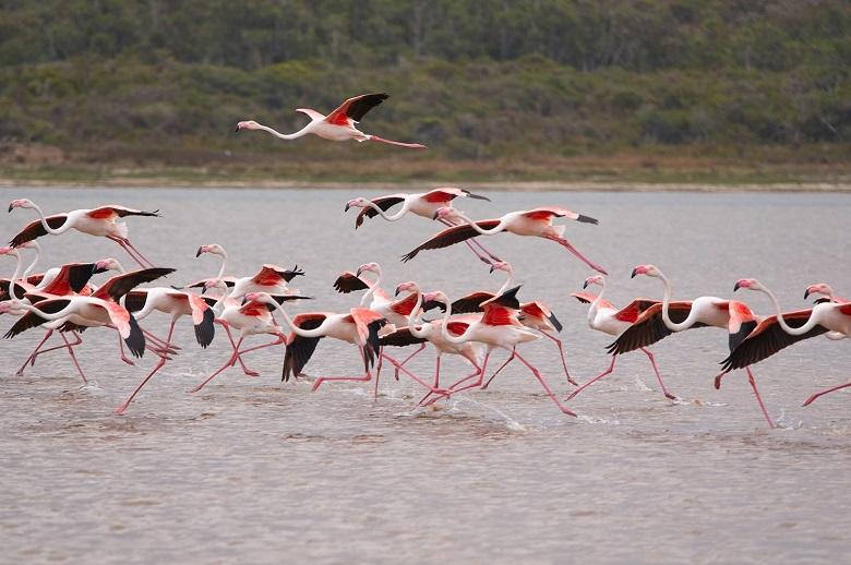 flamingo palomino