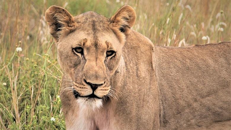 leeuw pilanesberg