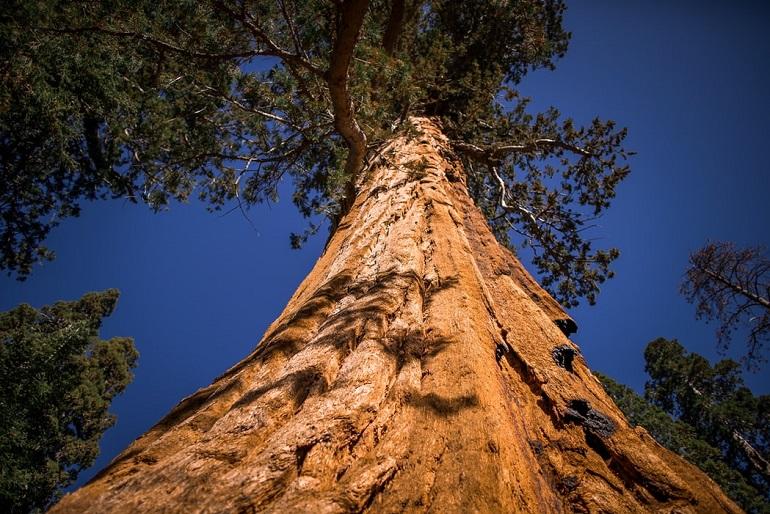 Mariposa Grove in Amerika