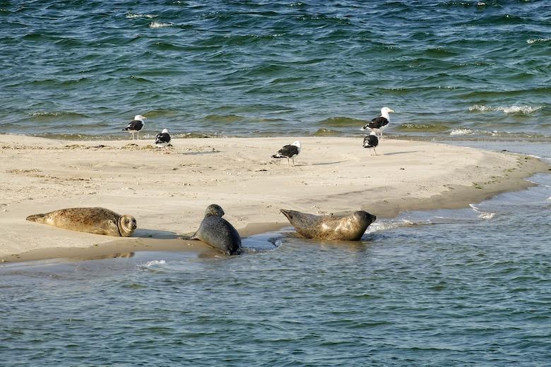 zeehonden ameland